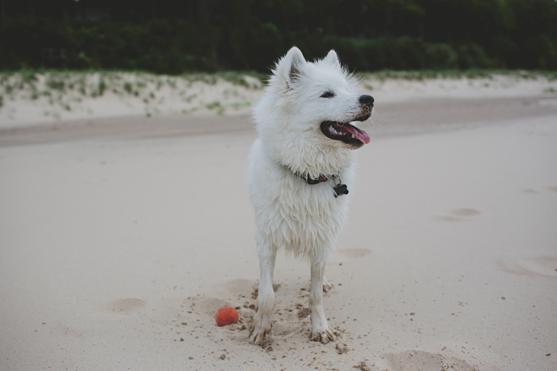 wet samoyed