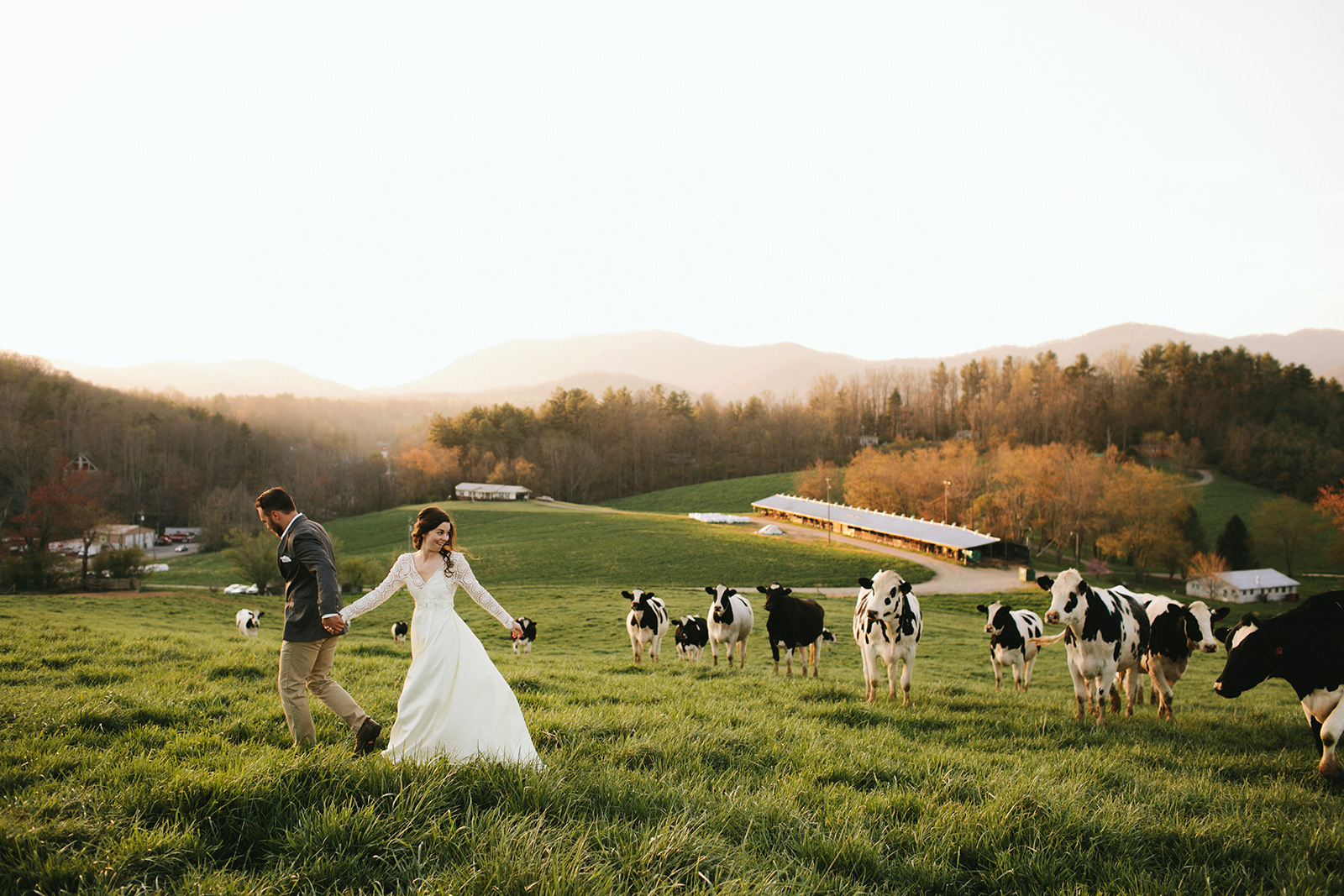 wedding photos with cows