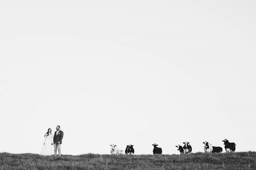cows-wedding