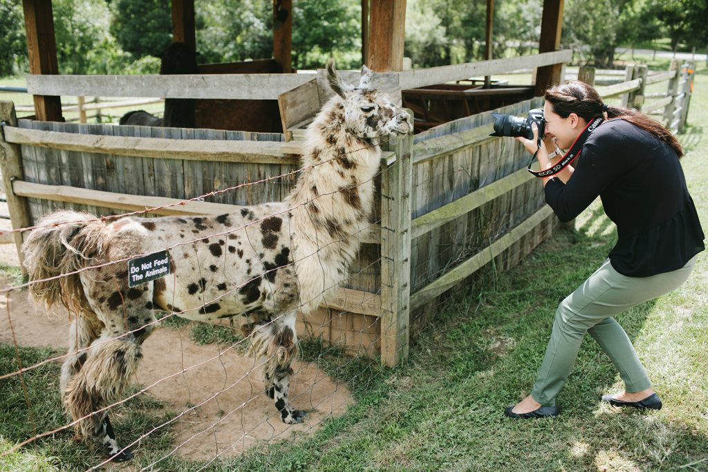 photographing a llama