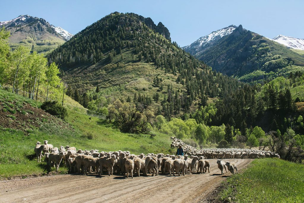 telluride sheep crossing