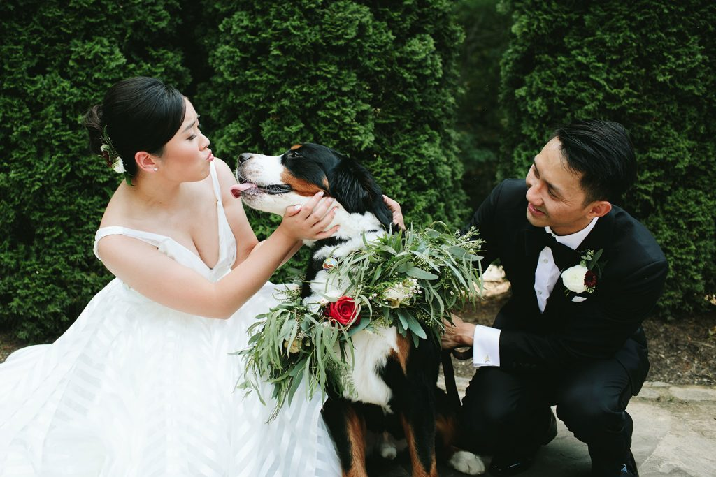 bernese mountain dog in wedding